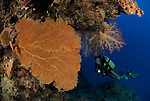 Colourful gorgonian fan and soft corals with diver.Rowley Shoals, Western Australia