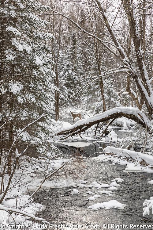 White-tailed deer walking in a winter creek in northern Wisconsin.