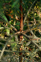 Plant History Glasshouse (formerly Australian Glasshouse), 1830s, Rohault de Fleury, Jardin des Plantes, Museum National d'Histoire Naturelle, Paris, France. Detail of Araucaria cunninghamii, an Australian variety of Pine.