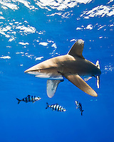 An oceanic whitetip shark (Carcharhinus longimanus) with pilot fish (Naucrates ductor), Kona Coast, Big Island.