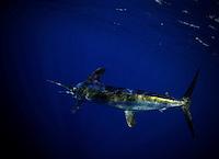 blue marlin2