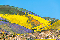 Color explosion of the super bloom in the Central California's Temblor Range just east of the Carrizo plain in San Luis Obispo County.<br />