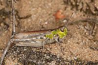 Gefleckte Keulenschrecke, Weibchen, Myrmeleotettix maculatus, Gomphocerus maculatus, mottled grasshopper
