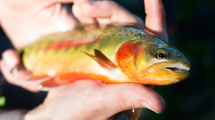 A golden trout from Golden Trout Lakes in the Gallatin Mountains near Big Sky, Montana.