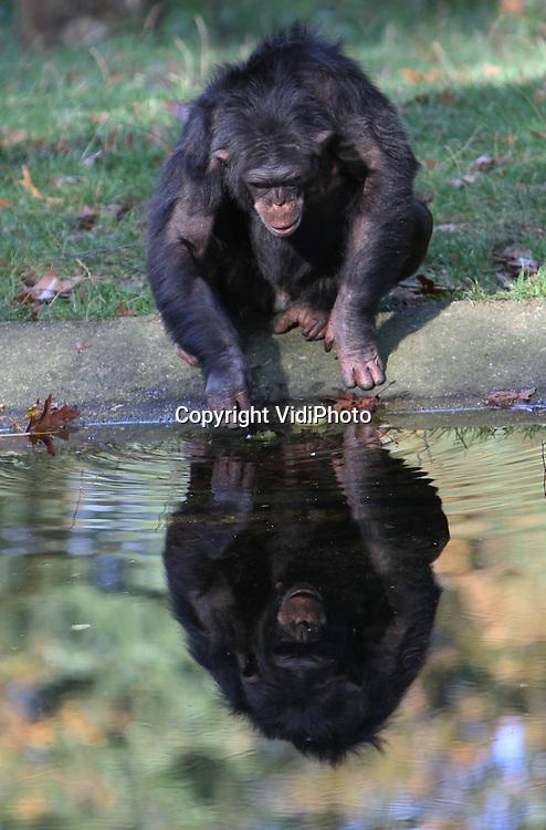 Foto: VidiPhoto..ARNHEM - Nog even genieten van het zonnetje maandag en dan is het afgelopen voor de chimpansees van Burgers' Zoo in Arnhem. Voor de dieren wordt het nu te koud om nog naar buiten te gaan, zeker nu er weer regen wordt voorspeld. Vanaf dinsdag zijn ze daarom alleen nog maar binnen te zien voor het publiek. De spiegeling van het water levert ook voor de dieren een nieuw gezichtspunt op..