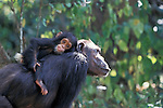 Africa, East Africa, Tanzania, Gombe NP.Female chimpanzee (Pan troglodytes schweinfurthii) .Goldi rides on her mother's back