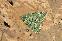 Red-green Carpet Chloroclysta siterata Wingspan 30-35mm. An attractive moth whose wings are held flat at rest creating a narrowly- triangular outline. Adult is rather variable in appearance with variable amounts of red and green. The typical form is green overall with dark cross bands and red patches or lines. In some forms, the red is entirely absent. Flies September-October, and again in spring after hibernation. Larva feeds on oaks and Rowan. Widespread and locally common.