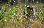 Patas Monkey (Erythrocebus patas) in grass, Africa.