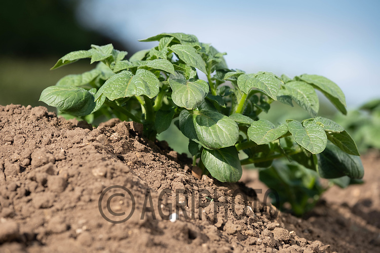 19.5.2020 Potatoes growing in Lincolnshire <br /> ©Tim Scrivener Photographer 07850 303986<br />      ....Covering Agriculture In The UK....