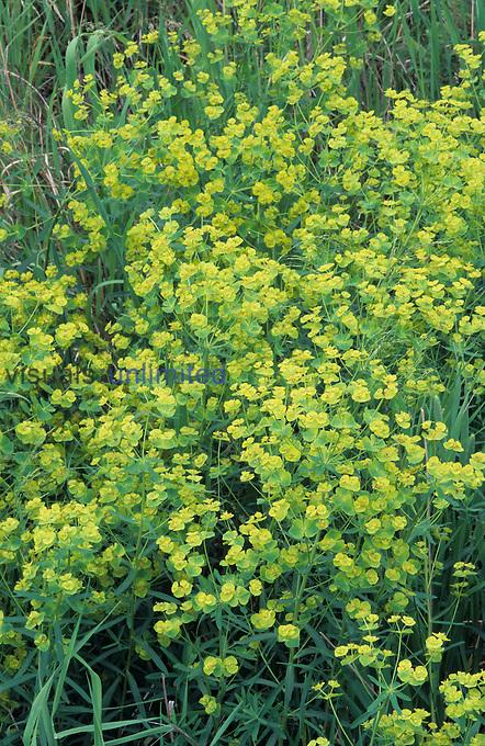 Leafy Spurge (Euphorbia esula) is a serious noxious invasive alien plant.