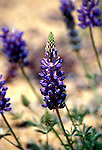 California: Mountain wildflowers, lupin.  Photo cawild104..Photo copyright Lee Foster, 510/549-2202, lee@fostertravel.com, www.fostertravel.com.