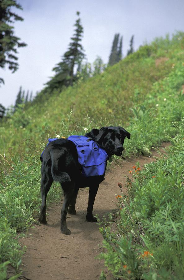 Dog with backpack on trail, Washington