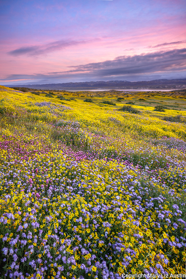 Carrizo Plain National Monument, CA: Monolopia, Owl's-clover and phacelia covering a gentle slope at sunrise