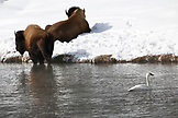 USA, Wyoming, Yellowstone National Park, a Trumpeter Swan swims near bison on the Firehole River