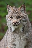 Canada Lynx portrait - CA