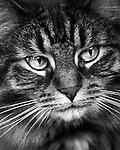 Tabby  black & white
