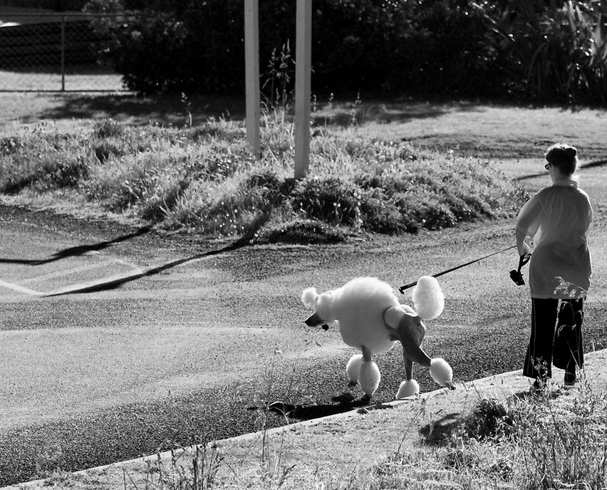 Poodle, Taranaki 2008