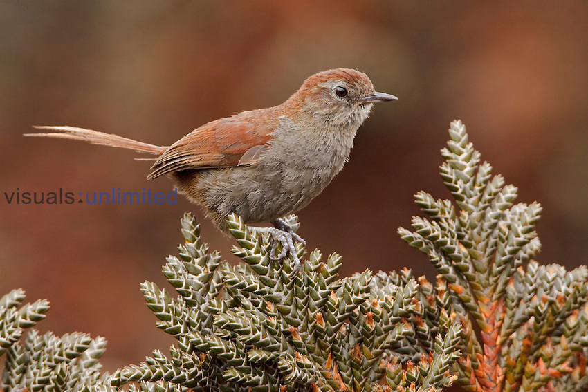 White-chinned Thistletail (Schizoeaca fuliginosa) perched on paramo vegetation in the highlands of Ecuador.
