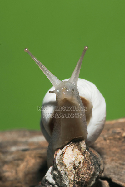Land Snail (Gastropoda), adult, Sinton, Corpus Christi, Coastal Bend, Texas, USA