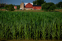 Corn growing in an Ohio field in July during record-breaking heat as farmers worry about ripening field corn and soybeans, Some truck crop corn is already mature and being sold in markets and delivered to stores.