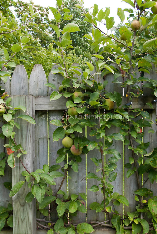 Backyard fruit growing in small spaces, on wooden fence, apples grown at home