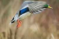 MALLARD DUCK (Anas Platyrhynchos) drake.  Pacific Northwest.  Winter.