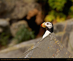 Puffin with Bug, Horned Puffin, Duck Island, Puffin Island, Tuxedni Bay, Cook Inlet, Alaska
