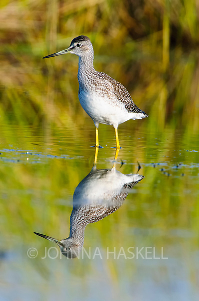 Yellowleg Sandpiper feeding in the mud areas of marshes of Maine bog with full reflection.