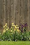 Iris along rustic shed..