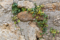 UK, England, Oxford.  Historic Preservation.  Weeds grow in cracks in town walls, loosening mortar and undermining stability.