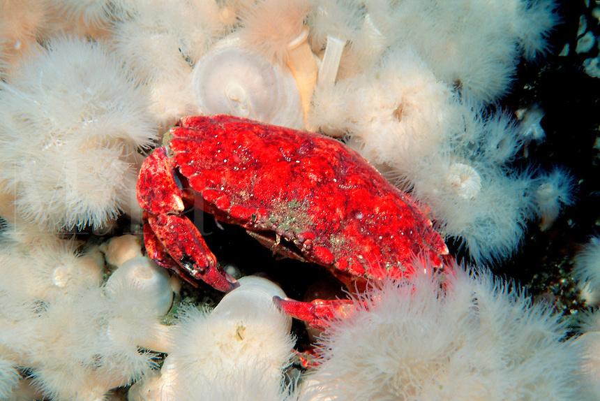 Red rock crab, Cancer productus, British Columbia, Pacific Ocean