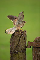 Kestrel Falco tunnunculus, with a mouse on an old post, Droitwich, Worcestershire, UK, May