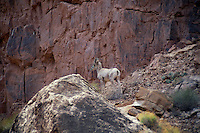 Desert bighorn sheep<br />