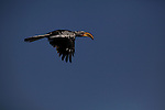 A a Southern Yellow-Billed Hornbill, native to Southern Africa, flies around the Makadikadi pans.