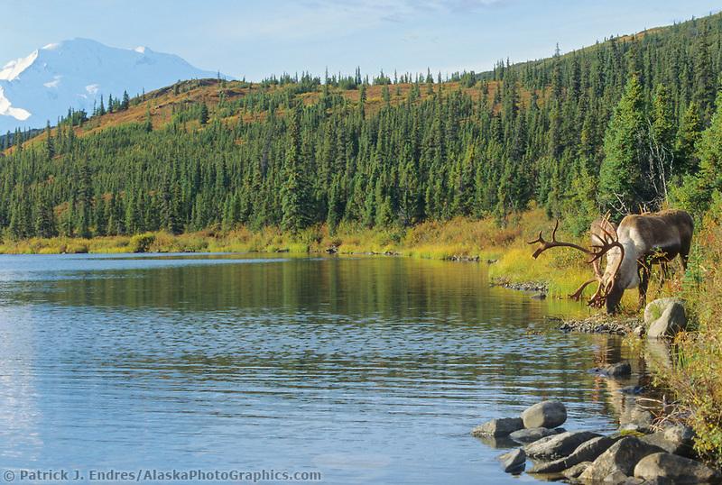 Bull Caribou, Mt. Denali, Wonder Lake, Denali National Park, Alaska
