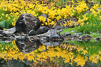 California, Yosemite National Park. Yellow ferns reflect in the calm waters of the Merced River in Autumn.