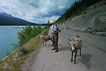 North of Jasper, in the Canadian Rockies, we found the sheep to be rediculously comfortable with our presence.