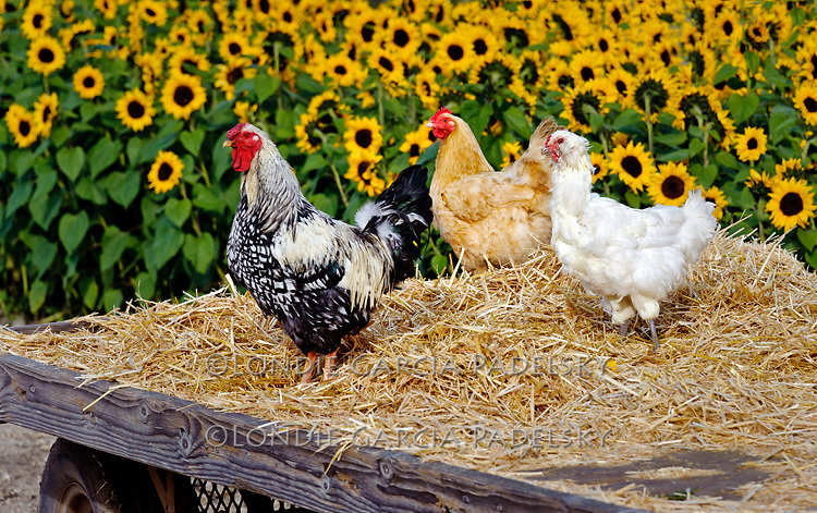 Barnyard chickens, Avila Valley, San Luis Obispo County, California