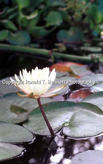White water lilly on pond, Commonwealth of Virginia, Fine Art Photography by Ron Bennett, Fine Art, Fine Art photography, Art Photography, Copyright RonBennettPhotography.com ©