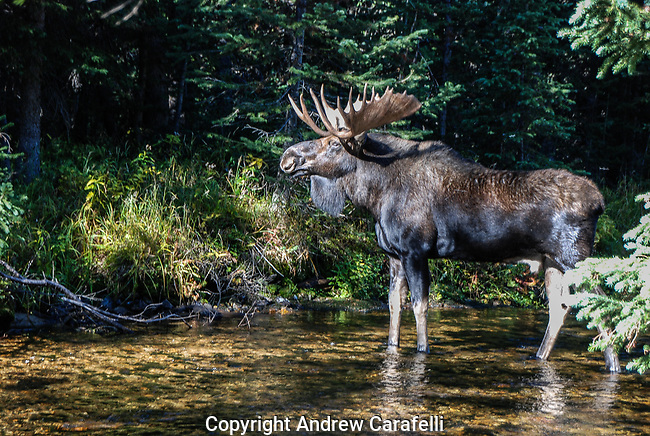 A large Bull Moose wanders in the shadows of the forest in the Indian Peaks Wilderness, Grand County, Colorado.