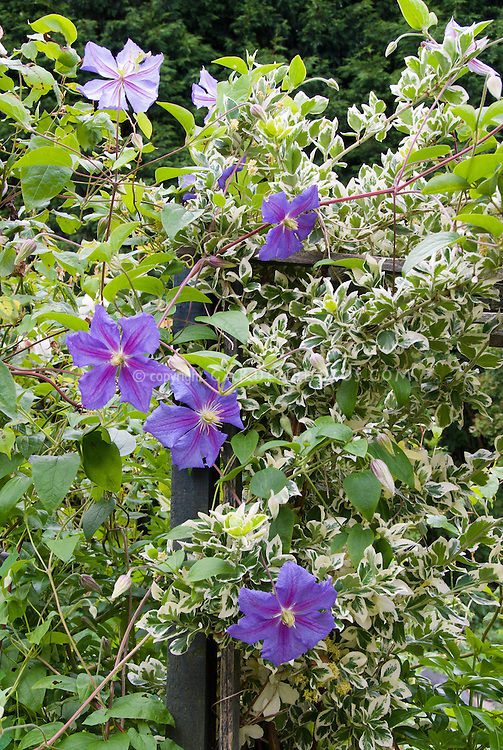 Clematis 'Perle d'Azur' and variegated Euonymus, 2 climbers plant vines interplanted together