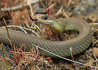 Western Yellow Belly Racer.Coluber constrictor mormon.Washington State.