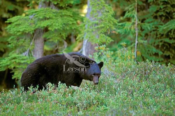 Black Bear in subalpine meadow where he was looking for huckleberries.  Pacific Northwest.  Aug-Sept.