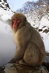 Japanese Macaque, Macaca, fuscata, sitting by hot water spring, Jigokudani National Park, Nagano, Honshu, Asia, primates, old world monkeys, snow, macaques, behavior, onsen, red face, steam.Japan....
