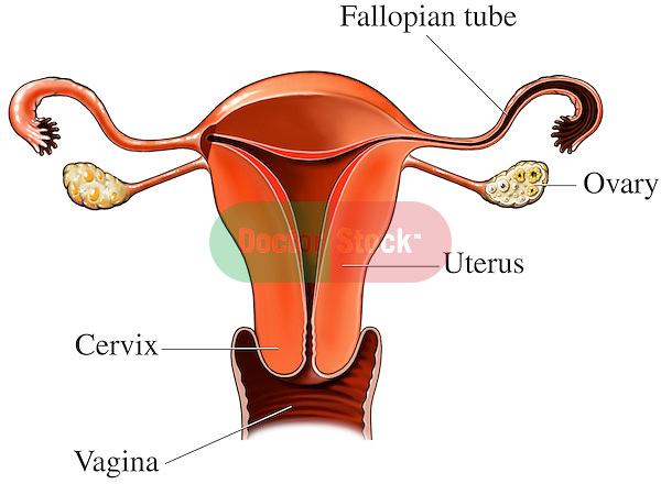 This medical exhibit pictures the primary anatomy of the internal female reproductive system organs shown from a front cut-away view. This single image features a view of the entire uterus from the Fallopian (uterine) tubes and ovaries to the cervix and proximal vaginal canal. Labels identify the Fallopian tube, ovary, uterus, cervix and vagina.