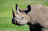 Black Rhinoceros (Diceros bicornis).  Africa.