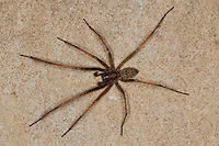 Große Winkelspinne, Hauswinkelspinne, Haus-Winkelspinne, Hausspinne, Kellerspinne, Männchen mit Pedipalpen, Pedipalpus, Tegenaria atrica, Eratigena atrica, Tegenaria gigantea, giant European house spider, giant house spider, larger house spider, cobweb spider