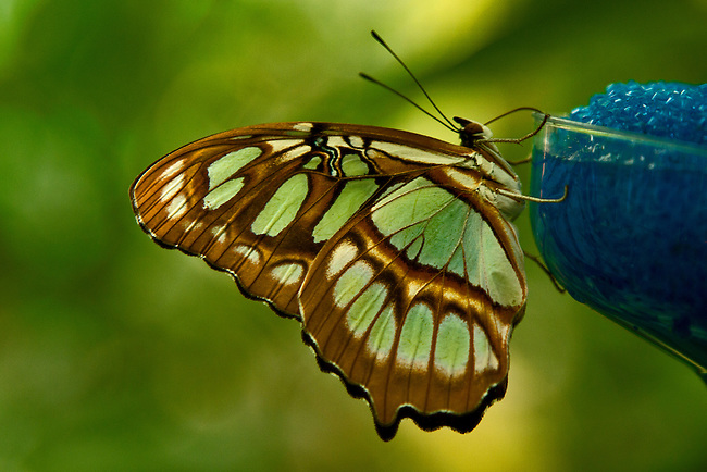 Close up of Malachite butterfly perched on the edge of a glass sipping from the nectar-soaked sponge in the glass. The yellow-green markings on the butterfly match the multi-colored background.
