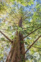 Metasequoia glyptostroboides, Dawn Redwood deciduous, coniferous tree; Arnold Arboretum
