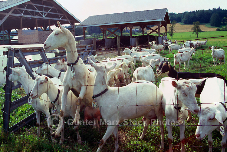 Fraser Valley Goat Farm, Langley, BC, British Columbia, Canada - Saanen Goats and LaMancha Goat await milking for Cheese Production